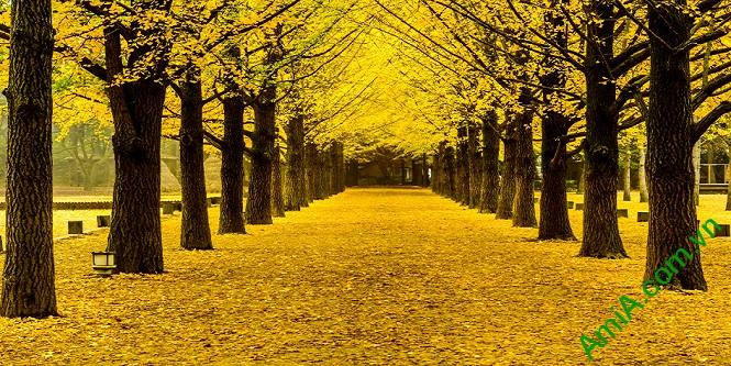 Hình ảnh tranh phong cảnh thiên nhiên treo phòng khách mùa thu lá vàng