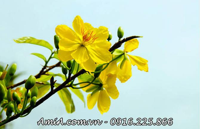 Hinh anh dep hoa mai vang lam tranh tet amia-ist-452273465