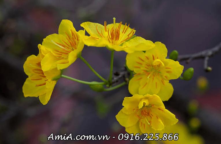 Hinh anh hoa mai vang lam tranh treo tet amia ist-187433786