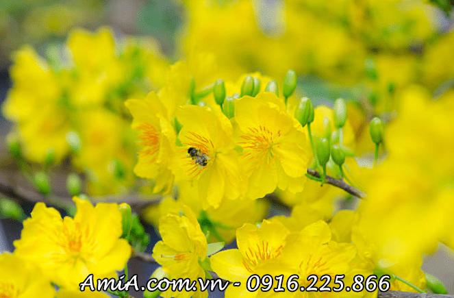 Hinh anh tranh hoa mai vang treo ngay tet y nghia AmiA-ist-512216240