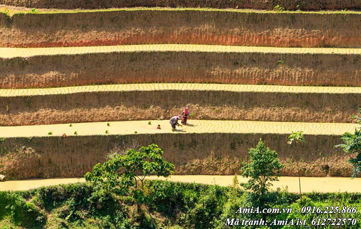 Hình ảnh gieo mạ của bà con nông dân trên ruộng bậc thang