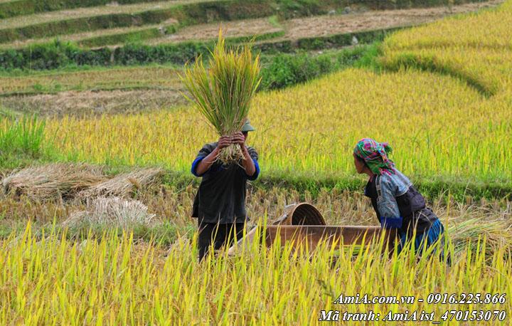 Bà con nông dân đang thu hoạch lúa ở vùng cao
