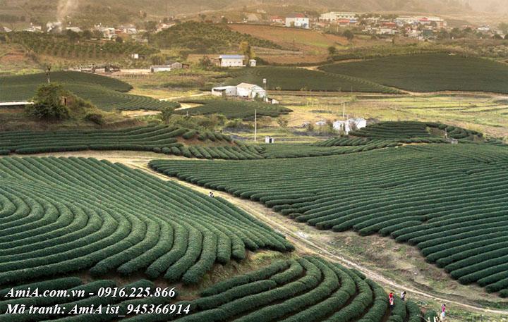 Hình ảnh đồi chè ở Mộc Châu Sơn La