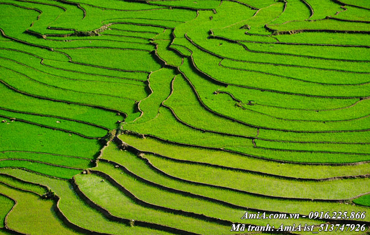 Hình ảnh mùa lúa xanh non đẹp mắt trên ruộng bậc thang