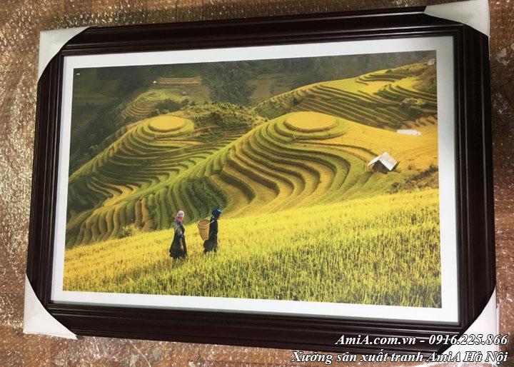 Hình ảnh tranh cánh đồng lúa chín tây bắc thực tế