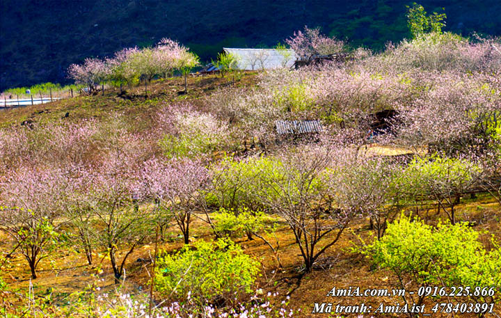 Hình ảnh đồi hoa giữa núi rừng Tây Bắc