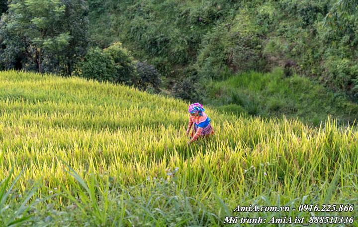 Hình ảnh ruộng bậc thang tây bắc hình ảnh gặt lúa trên thửa ruộng