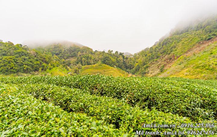 Đồi chè xanh ở mộc châu sơn la phong cảnh thiên nhiên đẹp