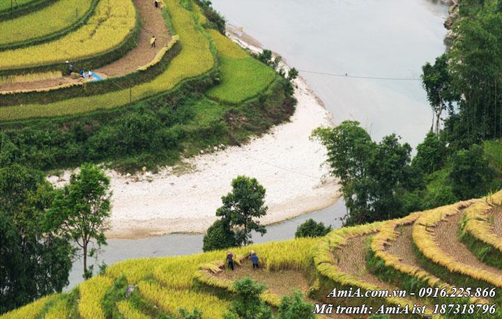 Hình ảnh cảnh thu hoạch lúa trên ruộng bậc thang